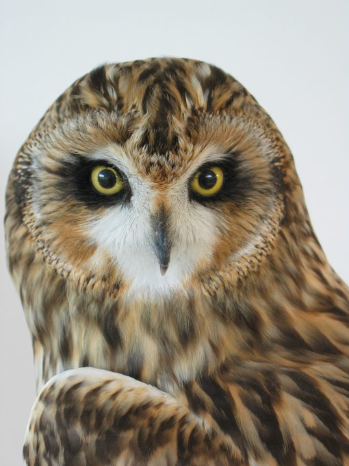 Short Eared Owl | Bird Taxidermy | Asio flammeus | by Mike Gadd