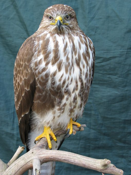 front Bird Taxidermy Common Buzzard - Buteo buteo 8876