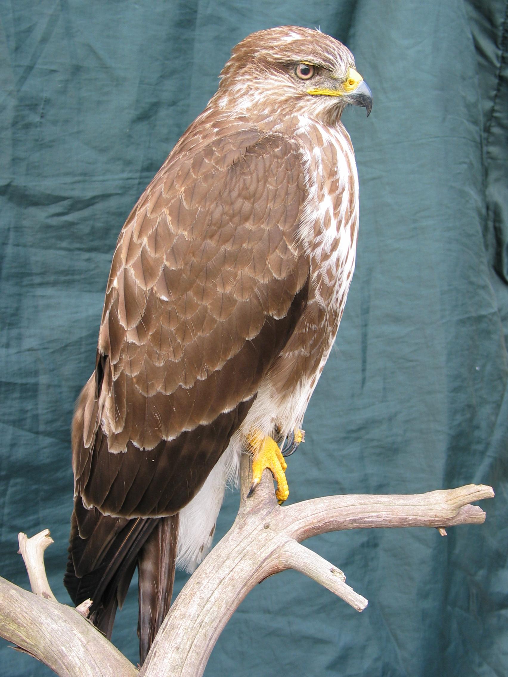 Bird Taxidermy Common Buzzard - Buteo buteo 8876 side