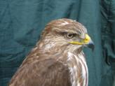 Bird Taxidermy Common Buzzard - Buteo buteo 8876 head