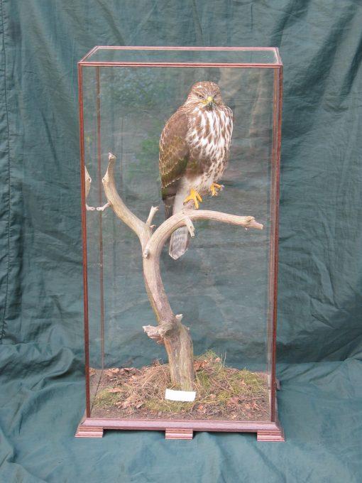 Taxidermy Common Buzzard - Buteo buteo 8876