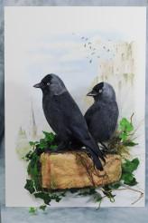 Bird taxidermy jackdaw Corvus monedula 2