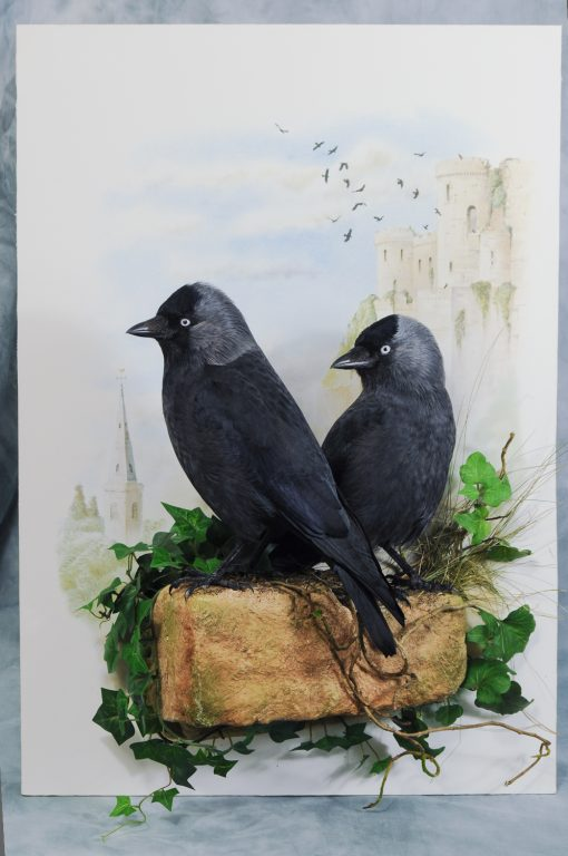 Bird taxidermy jackdaw Corvus monedula 2