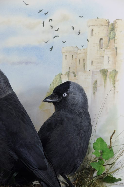 Bird taxidermy jackdaw Corvus monedula closeup