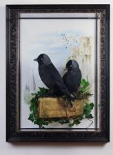 Bird taxidermy jackdaw Corvus monedula 1