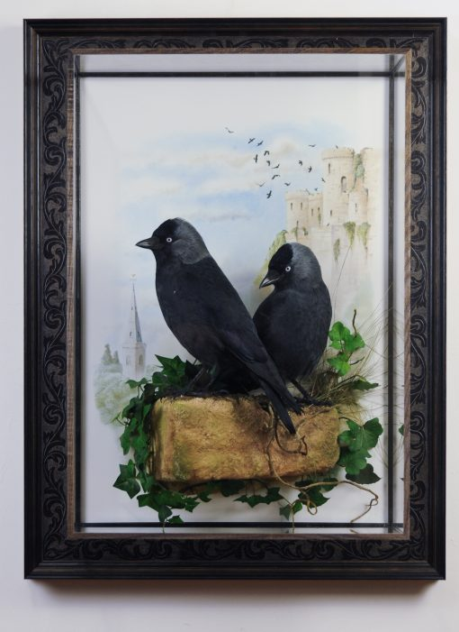 Bird taxidermy jackdaw Corvus monedula 1