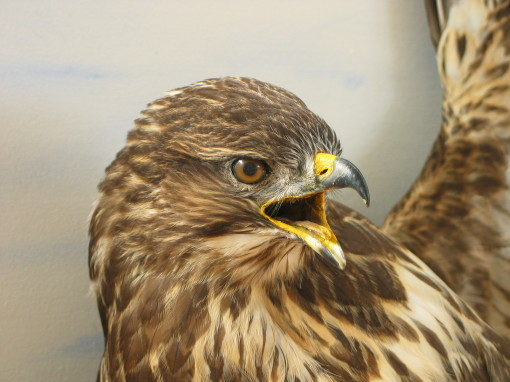 Buzzard taxidermy Head By UK Taxidermist Mike Gadd