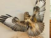 Buzzard taxidermy flying By UK Taxidermist Mike Gadd