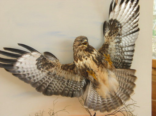 Buzzard taxidermy flying By UK Taxidermist Mike Gadd