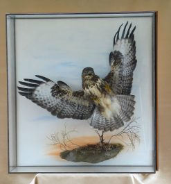 Buzzard Taxidermy