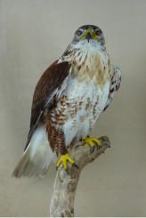 Bird Taxidermy Ferruginous Buzzard - Buteo regalis