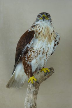 Bird Taxidermy Ferruginous Buzzard - Buteo regalis