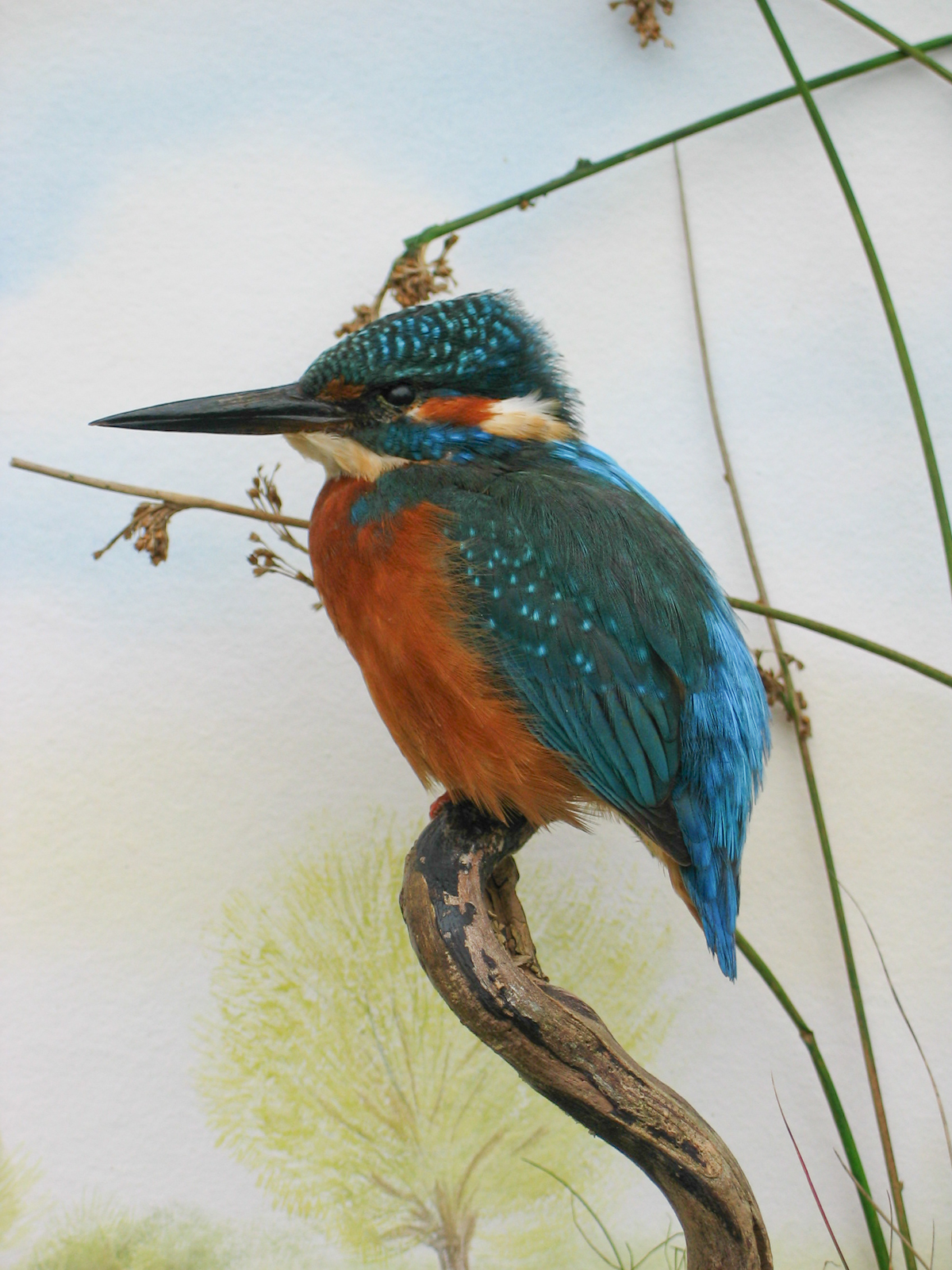 Kingfisher Taxidermy By Mike Gadd