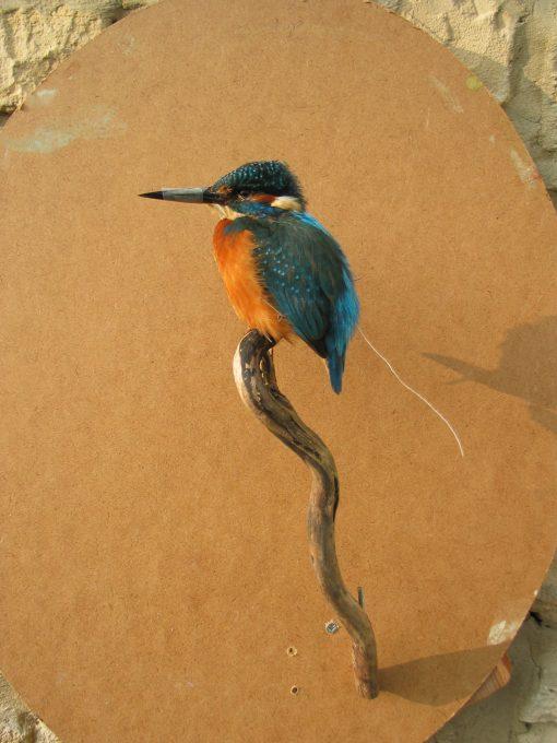 Kingfisher Taxidermy By Mike Gadd in progress