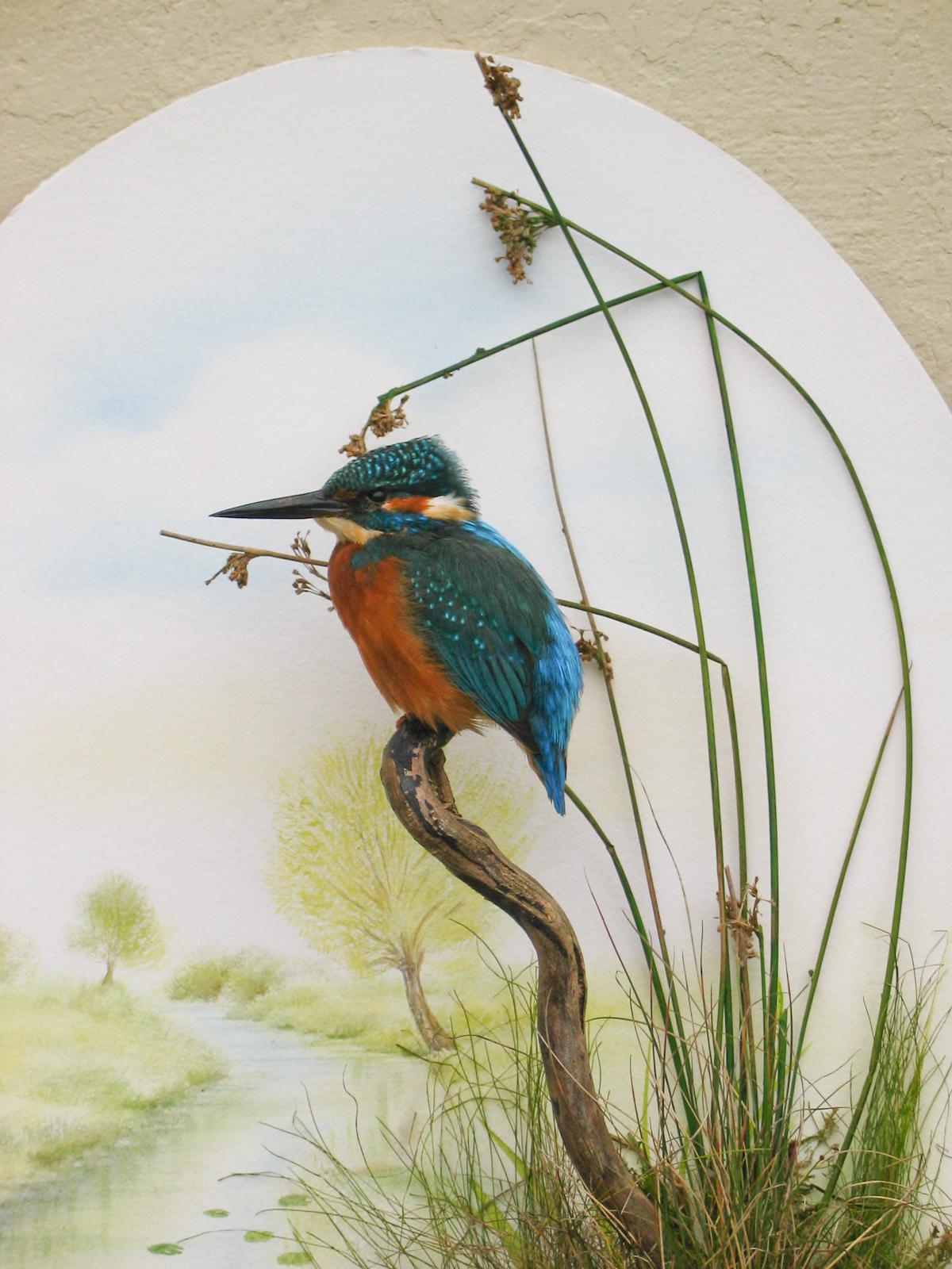 Kingfisher Bird Taxidermy By Mike Gadd