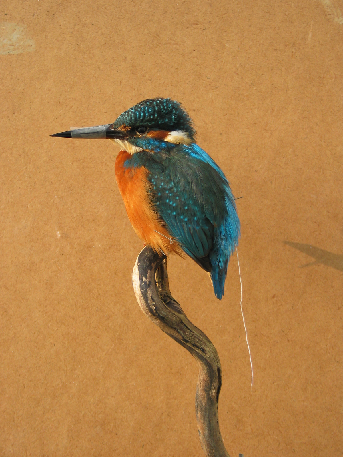 Exotic Birds For Sale >> Kingfisher | UK Bird Small Mammal Taxidermist Mike Gadd