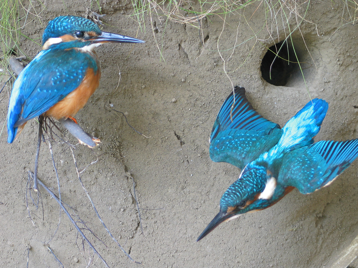 Kingfisher Flying Taxidermy nest site