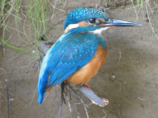 Kingfisher sitting Taxidermy