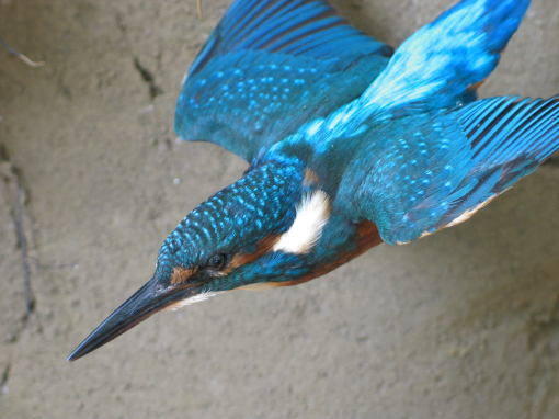 Kingfisher Flying Taxidermy