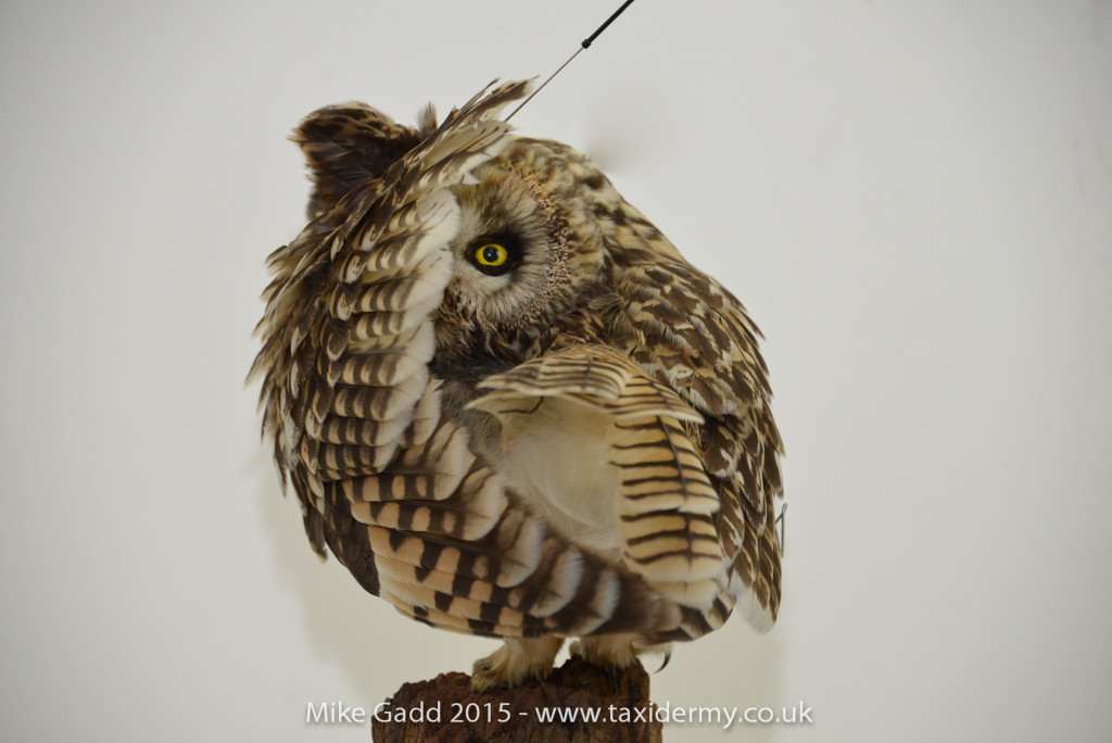 Short eared Owl taxidermy