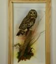 Bird Taxidermy Short Eared Owl (Asio flammeus) in Case 9047