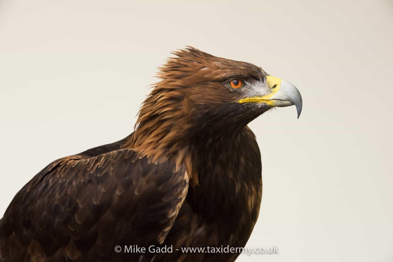 Original Bird of Prey Paintings For Sale - Alan M Hunt
