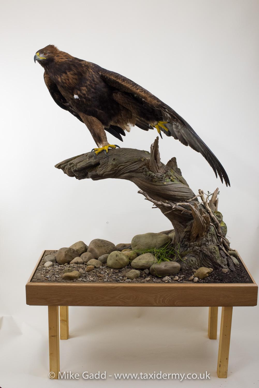 golden eagle mg9329