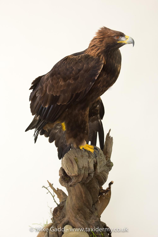 Golden Eagle mg9329 - UK Bird Small Mammal Taxidermist ...