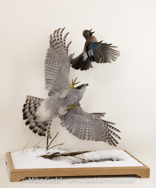 Flying Goshawk chasing Jay Taxidermy mount By Mike Gadd