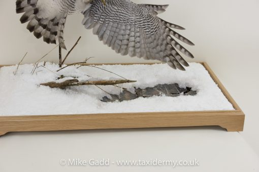 Flying Goshawk Taxidermy mount By Mike Gadd