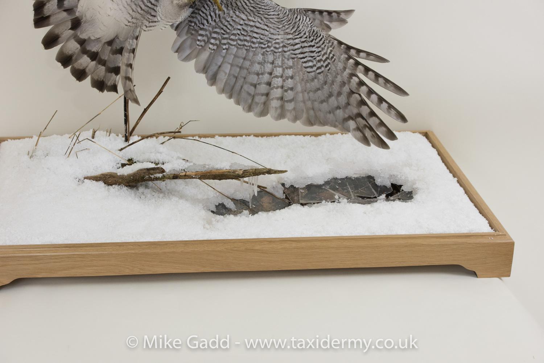 Flying Goshawk Taxidermy mount By Mike Gadd
