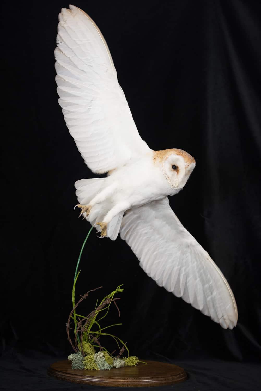 Barn Owl In Flying Pose Uk Bird Small Mammal Taxidermist