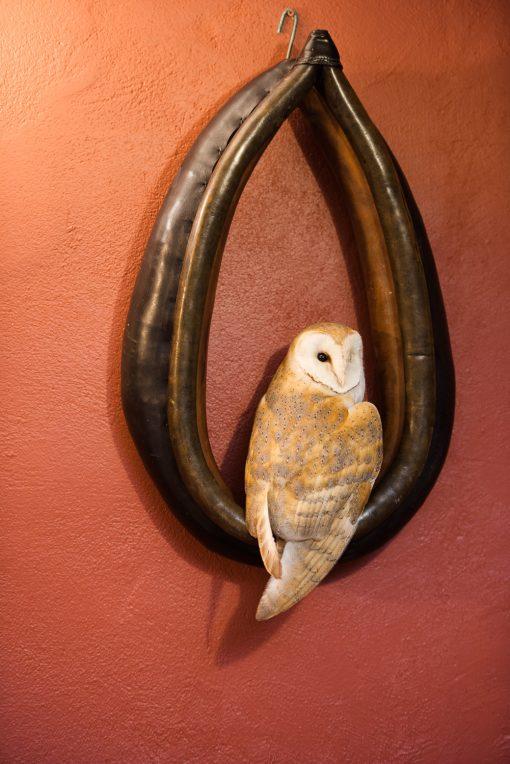 Barn Owl in Horse Collar