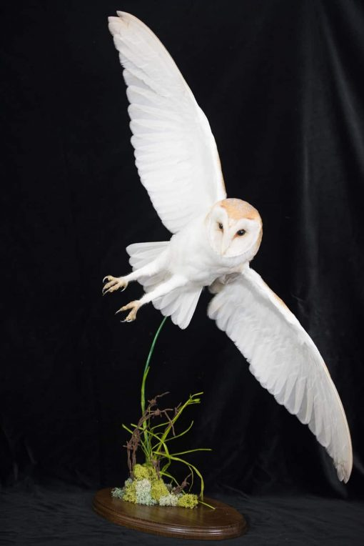 Barn Owl Flying taxidermy