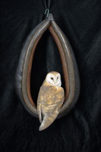 Barn Owl in Horse Collar
