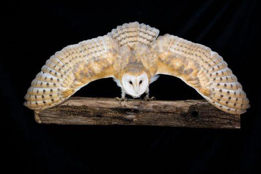 Barn Owl in threat display