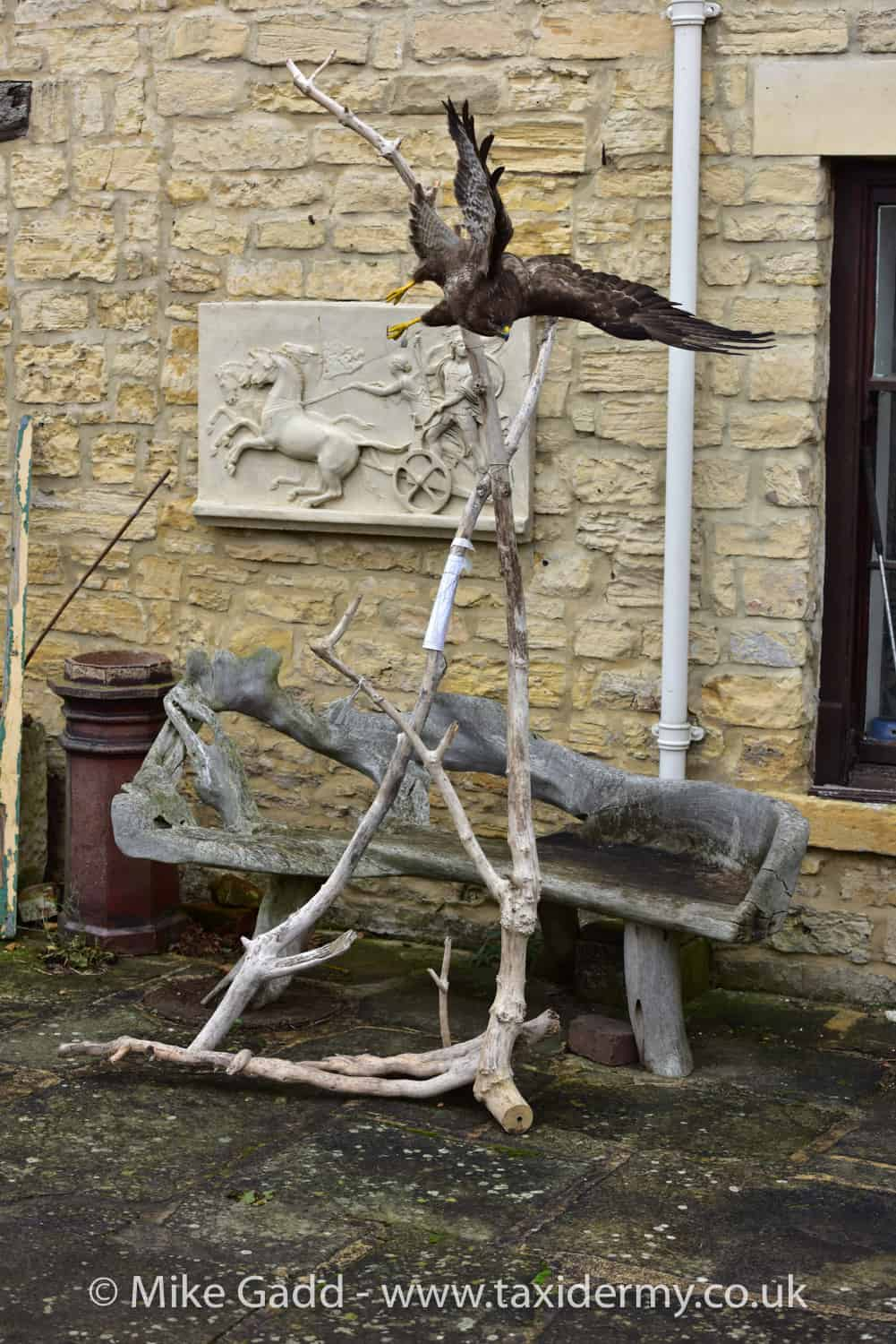 Flying Buzzard mount on a driftwood stand