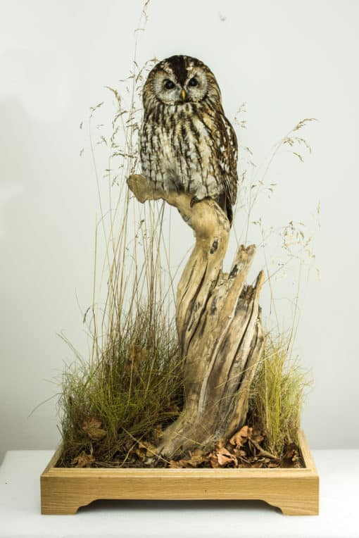 Tawny Owl - Bird Taxidermy