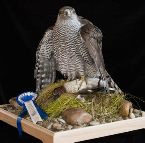 Goshawk Taxidermy Mantling front award