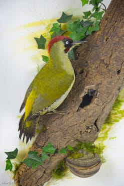 Taxidermy Green-Woodpecker close up