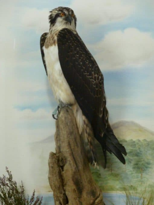 taxidermy osprey