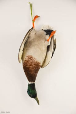 Taxidermy Mallard