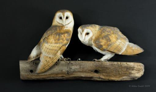 Taxidermy Barn Owls on Beam