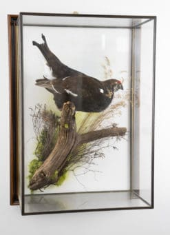 Taxidermy Black Grouse
