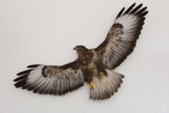 Taxidermy Flying Buzzard