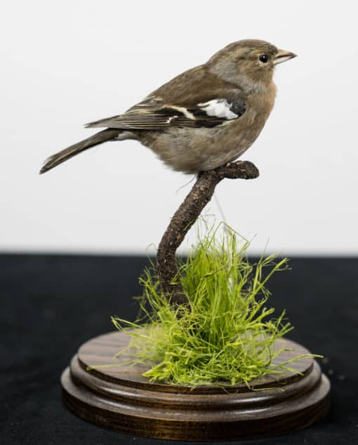 Taxidermy Chaffinch