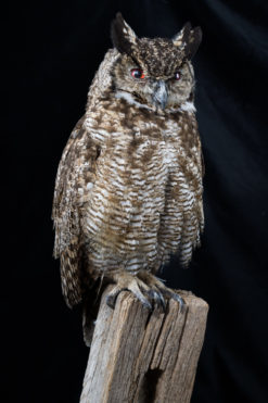 Taxidermy Magellans Eagle Owl