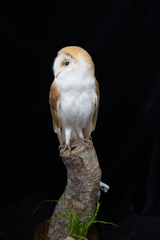 Taxidermy Barn Owl