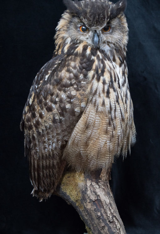 Taxidermy European Eagle Owl