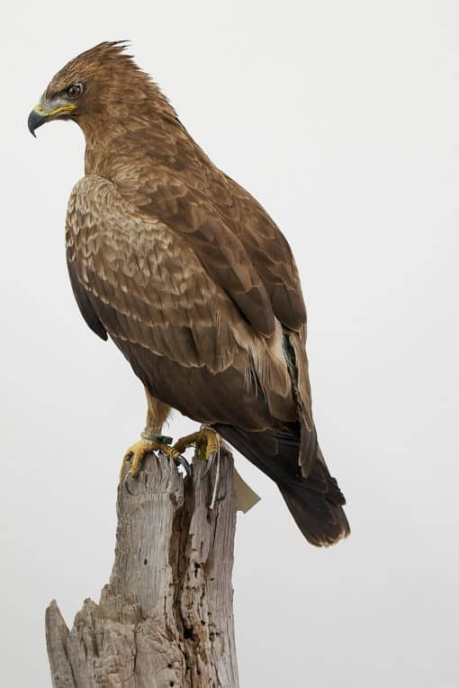 Wahlberg's Eagle (Aquila wahlbergi)